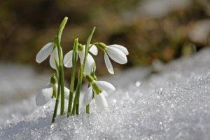 Schneeglöckchen_Frühling